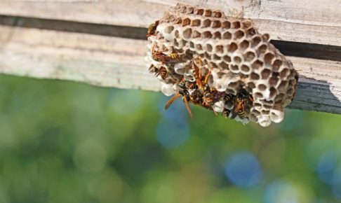 小さいうちなら業者不要!「蜂の巣」を自分で安全に駆除するコツ