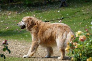 愛犬が散歩に連れて行っても「歩かない」時は、こうしてください