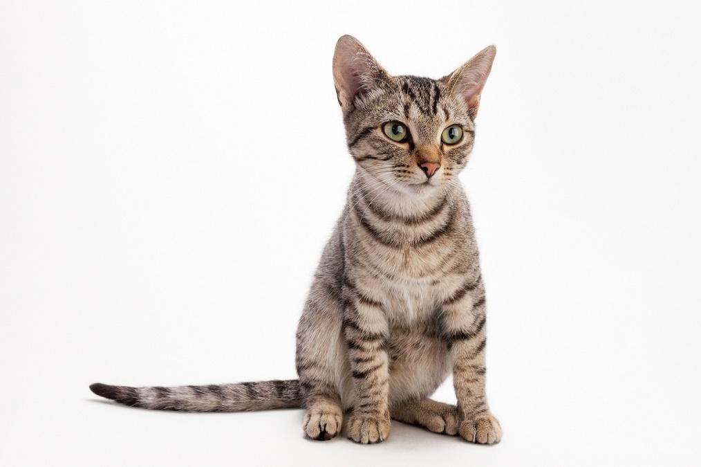 【猫の去勢手術】受けるメリットとデメリット、費用や時期は?
