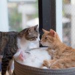 【猫の発情期】オスとメスで異なるサインと飼い主ができる対策