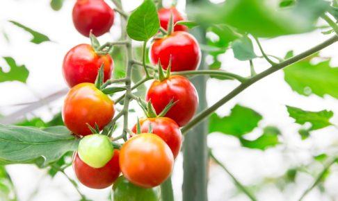 サタデープラスやあさイチで話題の健康食「トマト寒天」の作り方
